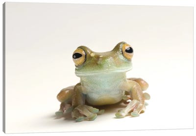 A Canal Zone Tree Frog At Zoo Atlanta Canvas Art Print