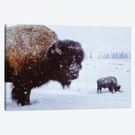 Bison In The Snow Canvas Print #SRR263} by Joel Sartore Canvas Art