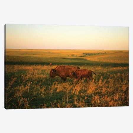 Bison Mother & Calf Graze At The Tallgrass Prairie Preserve Near Pawhuska, Oklahoma I Canvas Print #SRR265} by Joel Sartore Art Print