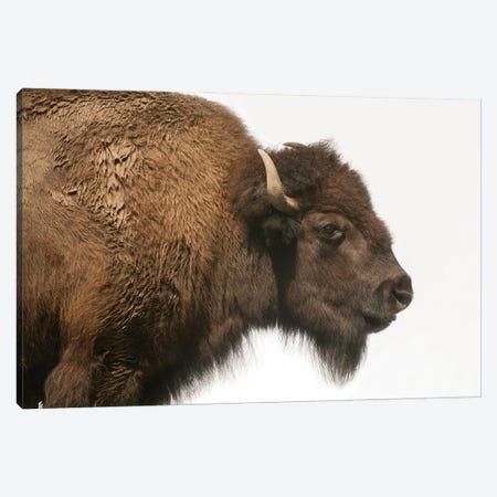 Bison Mother & Calf Graze At The Tallgrass Prairie Preserve Near Pawhuska, Oklahoma II Canvas Print #SRR266} by Joel Sartore Art Print