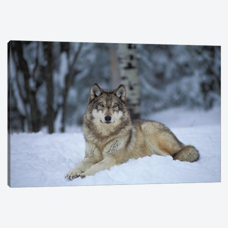 Captive Gray Wolf At The International Wolf Center In Ely, Minnesota II Canvas Print #SRR268} by Joel Sartore Canvas Artwork