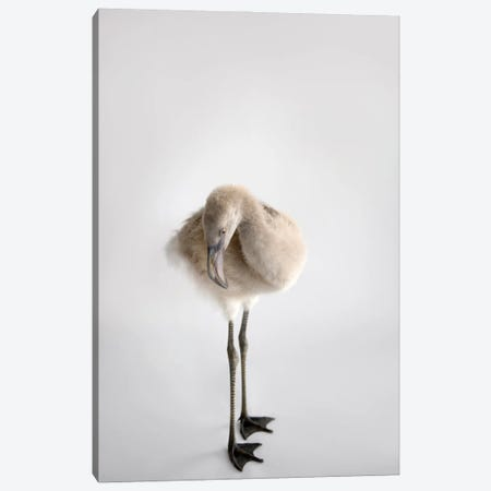 A Chilean Flamingo Chick At Houston Zoo Canvas Print #SRR26} by Joel Sartore Canvas Art