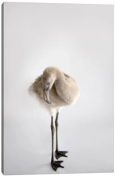 A Chilean Flamingo Chick At Houston Zoo Canvas Art Print