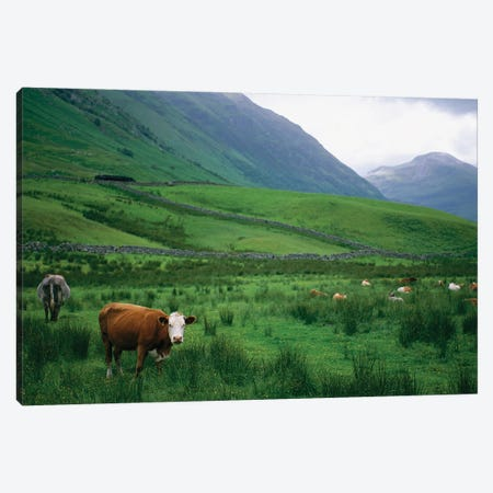 Cattle Graze In Fields Fenced With Stone Walls Canvas Print #SRR271} by Joel Sartore Canvas Art Print