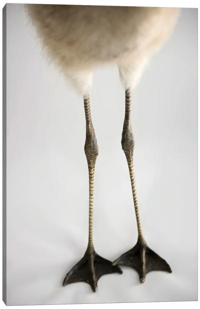 A Chilean Flamingo Chick's Feet At Houston Zoo Canvas Art Print