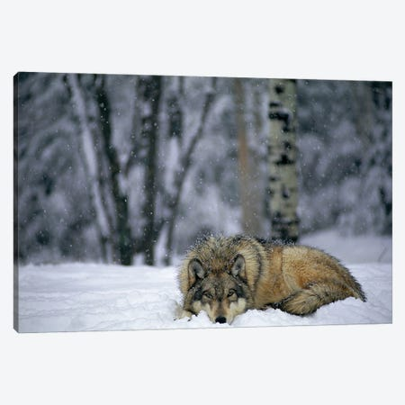 Gray Wolf In The New-Fallen Snow At The International Wolf Center, Near Ely, Northern Minnesota Canvas Print #SRR282} by Joel Sartore Canvas Art