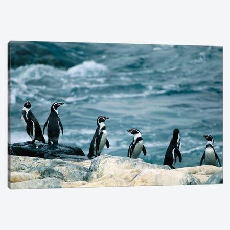 Humboldt Or Peruvian Penguins On A Rocky Shore Canvas Print #SRR289} by Joel Sartore Canvas Art