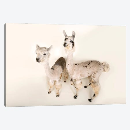 Llamas After A Recent Summer Haircut At The Lincoln Children's Zoo Canvas Print #SRR293} by Joel Sartore Art Print