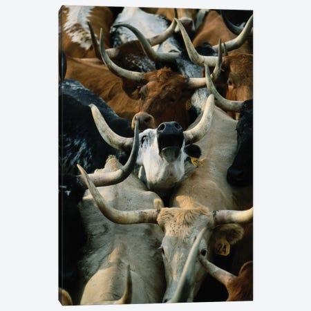 Longhorn Cattle Are Rounded Up At The Fort Niobrara National Wildlife Refuge Near Valentine, Nebraska Canvas Print #SRR294} by Joel Sartore Canvas Wall Art