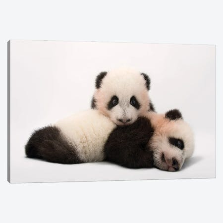 Mei Lun And Mei Huan, The Twin Giant Panda Cubs At Zoo Atlanta Canvas Print #SRR295} by Joel Sartore Canvas Wall Art