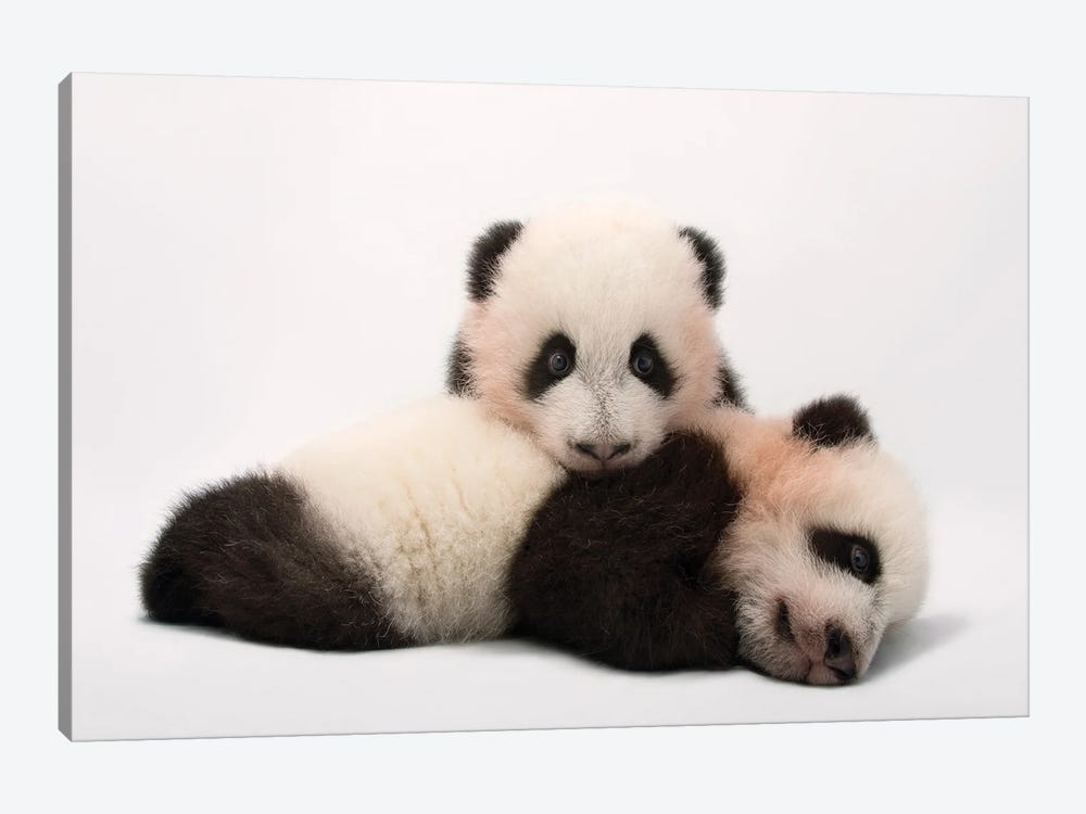 Mei Lun And Mei Huan, The Twin Giant Panda Cubs At Zoo Atlanta by Joel Sartore 1-piece Canvas Print