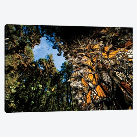 Millions Of Monarch Butterflies Roost On The Sierra Chincua Near Angangueo, Mexico I Canvas Print #SRR297} by Joel Sartore Canvas Wall Art