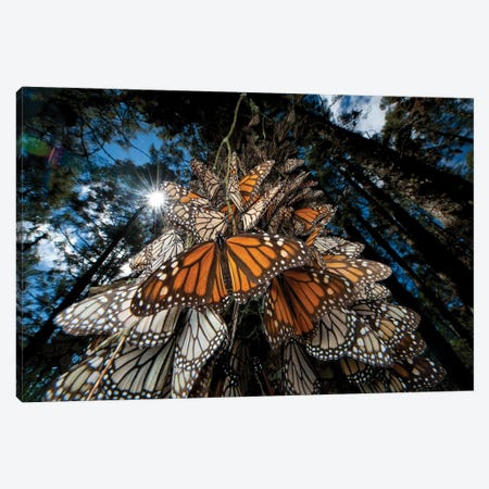 Millions Of Monarch Butterflies Roost On The Sierra Chincua Near Angangueo, Mexico II Canvas Print #SRR298} by Joel Sartore Art Print