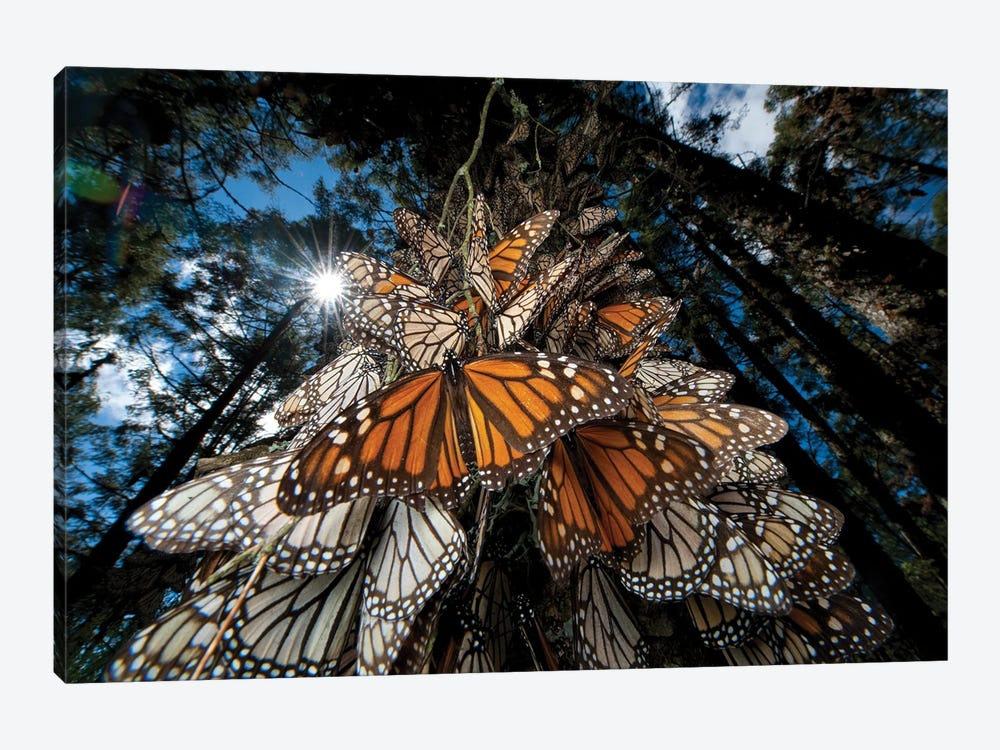 Millions Of Monarch Butterflies Roost On The Sierra Chincua Near Angangueo, Mexico II by Joel Sartore 1-piece Canvas Artwork