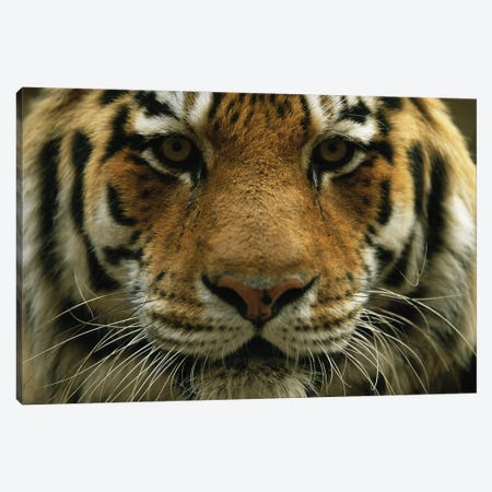 A Close View Of The Face Of A Male Siberian Tiger At Omaha' Henry Doorly Zoo And Aquarium Canvas Print #SRR29} by Joel Sartore Art Print