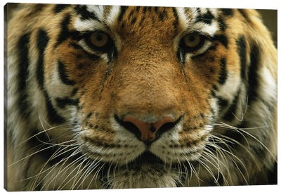 A Close View Of The Face Of A Male Siberian Tiger At Omaha' Henry Doorly Zoo And Aquarium Canvas Art Print