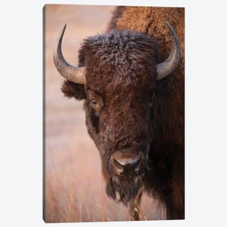 A Bison On A Ranch Near Valentine, Nebraska Canvas Print #SRR2} by Joel Sartore Canvas Art Print