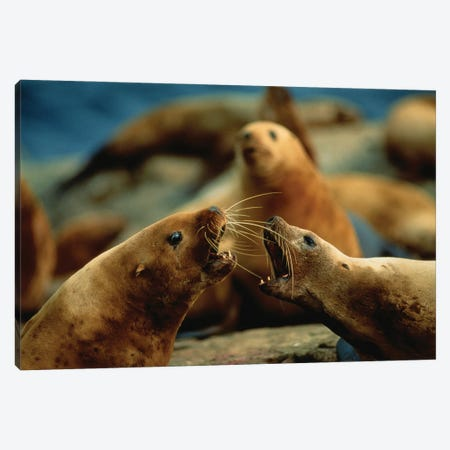 Nose-To-Nose, Two Steller Sea Lion Cows Argue Over Territory Canvas Print #SRR301} by Joel Sartore Canvas Art Print