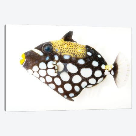A Clown Triggerfish At Pure Aquariums Canvas Print #SRR30} by Joel Sartore Canvas Artwork