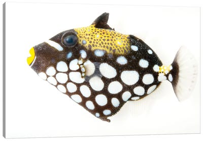 A Clown Triggerfish At Pure Aquariums Canvas Art Print