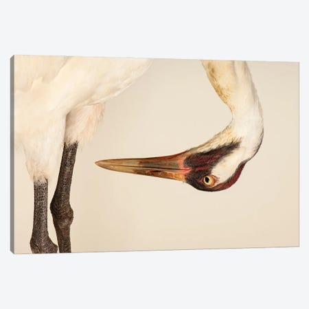 Sara, The Endangered And Federally Endangered Whooping Crane , At The Audubon Center For Research Of Endangered Species Canvas Print #SRR313} by Joel Sartore Canvas Wall Art