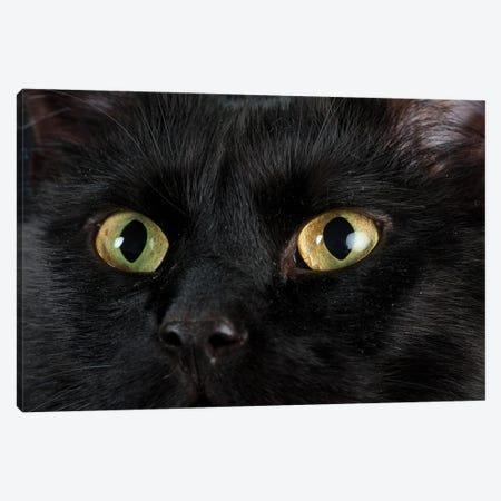 Studio Portrait Of A Cat Named Amadeus Wolfgang Meowzart Canvas Print #SRR315} by Joel Sartore Canvas Art Print