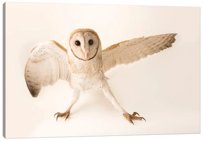 A Common Barn Owl At Penang Bird Park Canvas Art Print