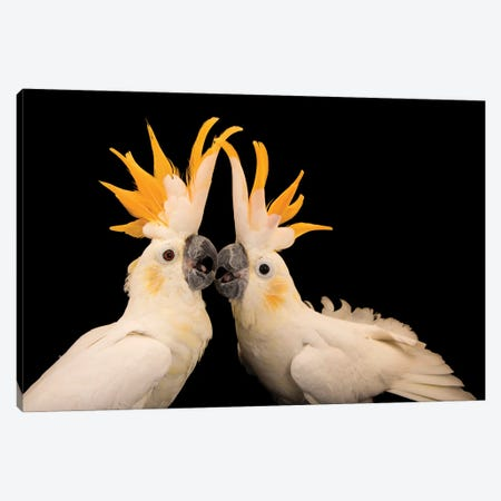 Two Critically Endangered Citron Crested Cockatoos At Jurong Bird Park I Canvas Print #SRR326} by Joel Sartore Canvas Wall Art