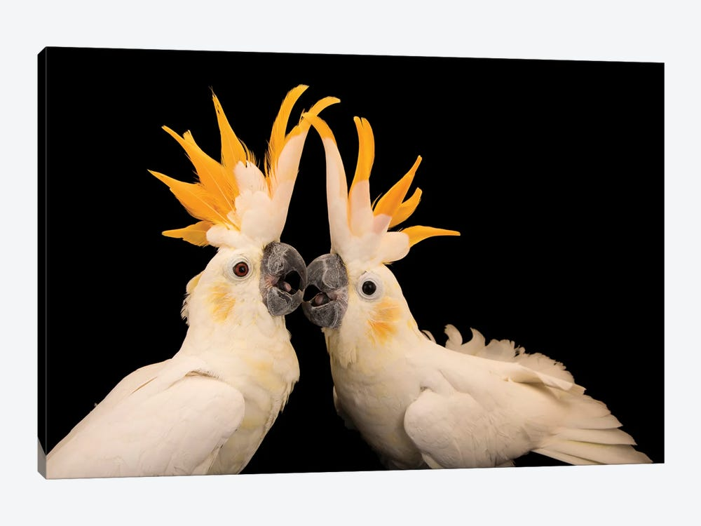 Two Critically Endangered Citron Crested Cockatoos At Jurong Bird Park I by Joel Sartore 1-piece Canvas Art