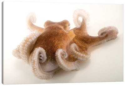 A Common Octopus At Gulf Specimen Marine Lab And Aquarium Canvas Art Print