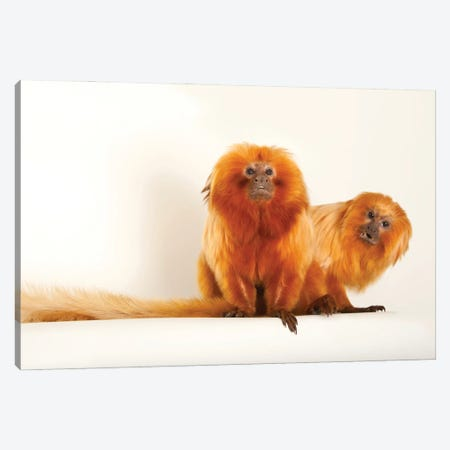 Two Golden Lion Tamarin At Lincoln Children's Zoo This Species Is Listed As Endangered Canvas Print #SRR330} by Joel Sartore Canvas Wall Art