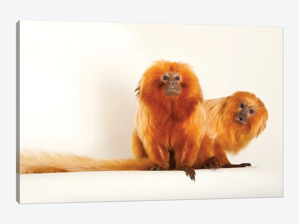 Two Golden Lion Tamarin At Lincoln Children's Zoo This Species Is Listed As Endangered by Joel Sartore 1-piece Canvas Art Print
