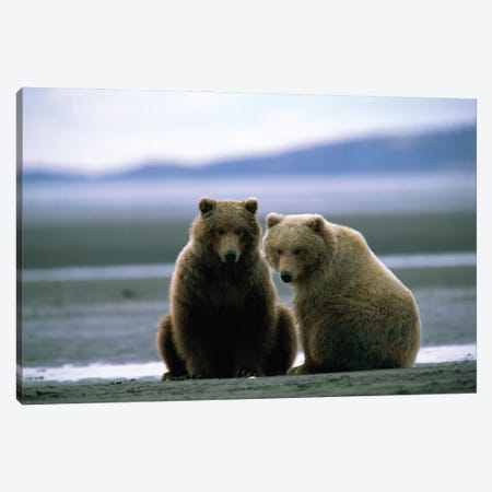Two Grizzly Bears Dig For Clams At Hallo Bay, Alaska Canvas Print #SRR331} by Joel Sartore Canvas Art