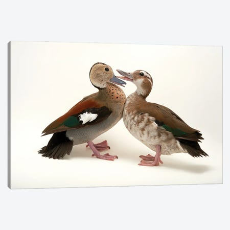 Two Ringed Teal At Sylvan Heights Waterfowl Park Canvas Print #SRR335} by Joel Sartore Canvas Print