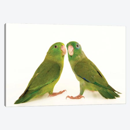 Two Spectacled Parrotlets At Piscilago Zoo The Male Has Blue Around The Eye Canvas Print #SRR336} by Joel Sartore Canvas Print
