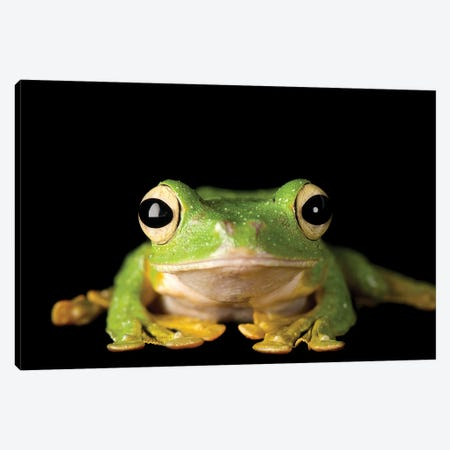 Wallace's Gliding Tree Frog From A Private Collection Canvas Print #SRR338} by Joel Sartore Canvas Art