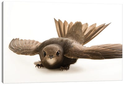 A Common Swift From The Budapest Zoo Canvas Art Print