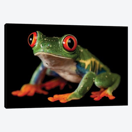 A Red-Eyed Tree Frog At The Sunset Zoo In Manhattan, KS. Canvas Print #SRR342} by Joel Sartore Art Print