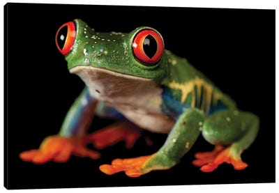 A Red-Eyed Tree Frog At The Sunset Zoo In Manhattan, KS. Canvas Art Print