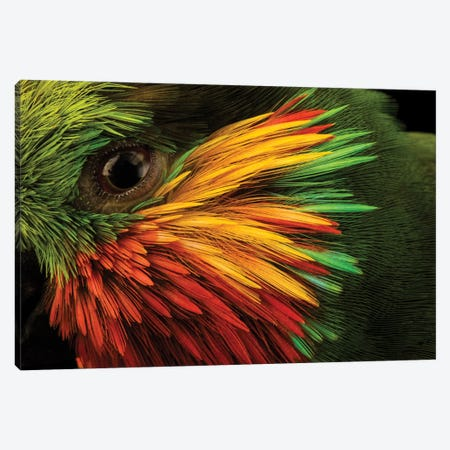 Edward's Fig Parrot At Loro Parque Fundacion. Canvas Print #SRR343} by Joel Sartore Art Print