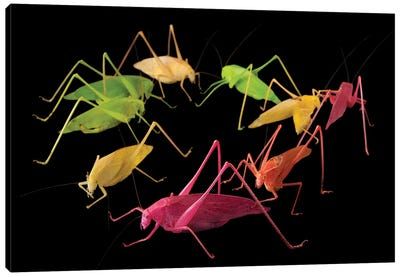 Oblong-Winged Katydids At The Insectarium In New Orleans. Canvas Art Print