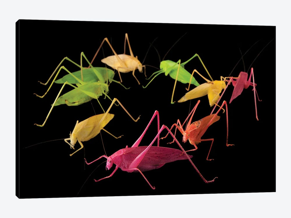 Oblong-Winged Katydids At The Insectarium In New Orleans. by Joel Sartore 1-piece Canvas Wall Art