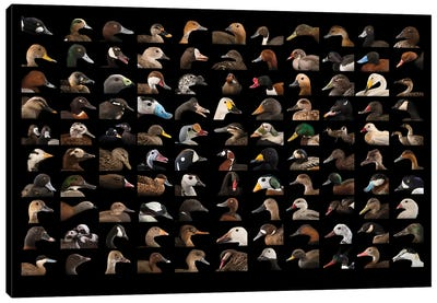 A Composite Of 110 Species Of Ducks And Geese Canvas Art Print