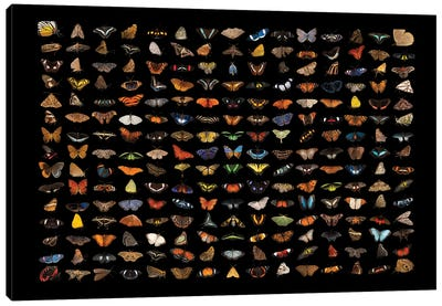 A Composite Of 225 Butterfly And Moth Species Canvas Art Print