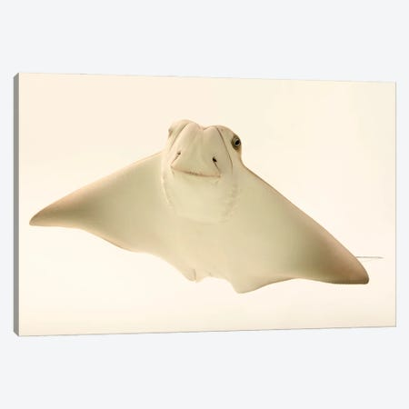 A Cownose Ray At Phoenix Zoo This Is A 4 Month Old Ray Pup Named Faith Hill Canvas Print #SRR39} by Joel Sartore Canvas Wall Art