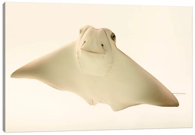 A Cownose Ray At Phoenix Zoo This Is A 4 Month Old Ray Pup Named Faith Hill Canvas Art Print