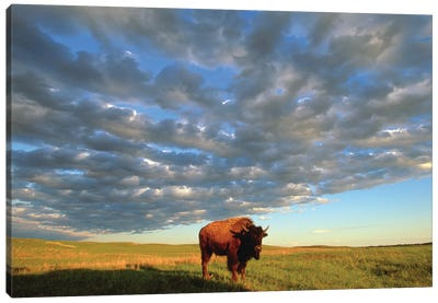 A Bison At The Fort Niobrara National Wildlife Refuge In Nebraska Near Valentine, Nebraska Canvas Art Print