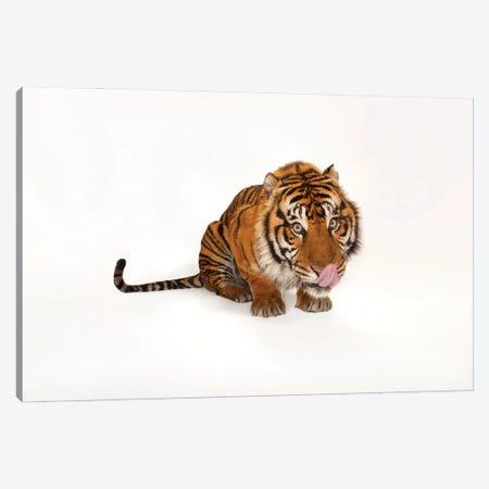 A Critically Endangered Sumatran Tiger At The Miller Park Zoo I Canvas Print #SRR40} by Joel Sartore Canvas Art Print