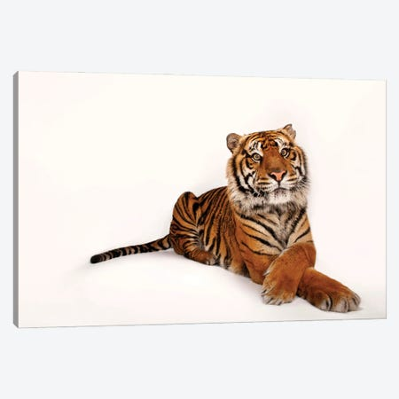 A Critically Endangered Sumatran Tiger At The Miller Park Zoo II Canvas Print #SRR41} by Joel Sartore Art Print