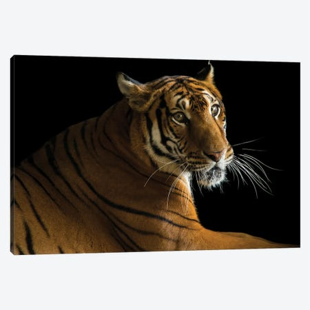 A Critically Endangered  Female South China Tiger At The Suzhou Zoo In China Canvas Print #SRR43} by Joel Sartore Canvas Print